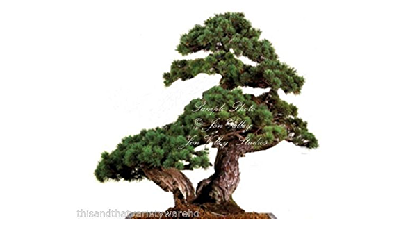 Pinus Aristata Bristlecone Pine Tree 10 Seeds Great For Bonsai Or Standard By Serendipityseed Amazon Ca Home Kitchen