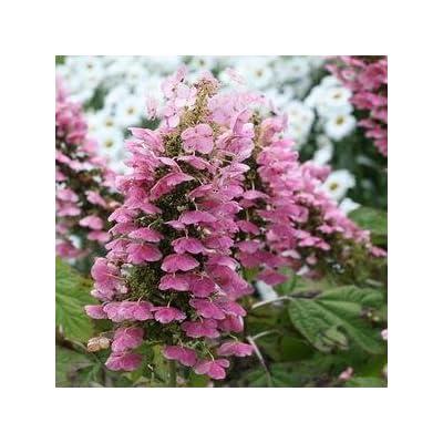 Hydrangea-Gatsbys-Pink - QT Pot (Shrub) : Garden & Outdoor