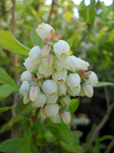 Vaccinium corymbosum 'Patriot' (HighBush Blueberry) Edible-Shrub, #3 - Size Container by Green Promise Farms (Image #1)