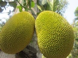 Fresh Whole Jackfruit (One Fruit 15-18lbs) by Tropical Importers (Image #3)