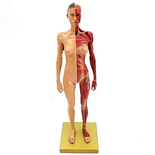 [해외]인간 몸체 근골격의 해부학적 모델 연구 및 교습 / Human Body Musculoskeletal Anatomical Model for Study and Teaching (30CM1)