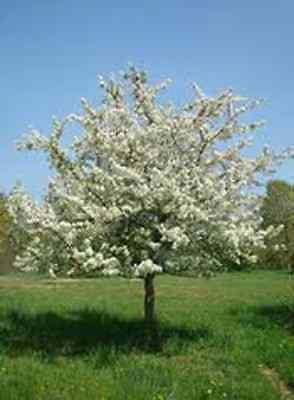 Sugar Thyme Crabapple Tree Seeds