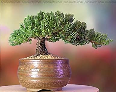 Amazon Com A Bonsai Juniper 6 To 7 Year Old Tree In Han Kengai Cup Live Indoor Bonsai Plants Grocery Gourmet Food
