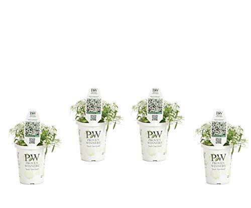 White Knight SweetAlyssum (Lobularia) Live Plant, White Flowers, 4.25 in. Grande, 4-pack ()