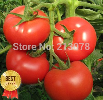 Big Red Tomato, Organic Edible Tasty Tomato, 1 Original Pack 100 Seeds / Pack,