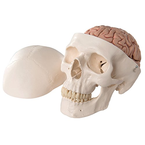 3B Scientific Classic Skull with Brain by 3B Scientific (Image #6)