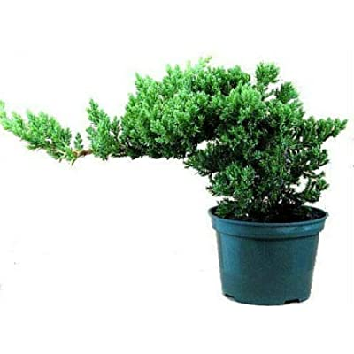 "AchmadAnam - Live Plant Bonsai Juniperus Procumbens Nana Japanese Juniper Starter Tree 4"" Pot: Garden & Outdoor"