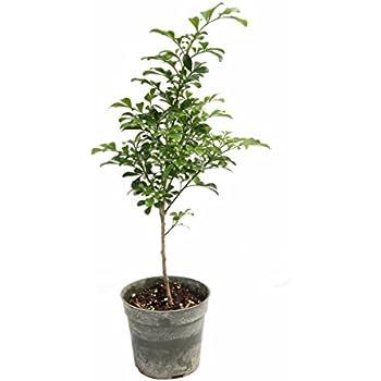 Chinese Perfume Plant (Aglaia odorata)