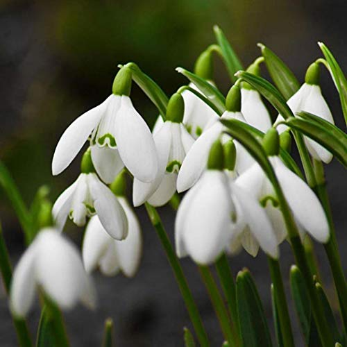 Erholi Snowdrop Galanthus Seeds Autumn Bulbs Growing Gardening Spring Flower Plants Flowers