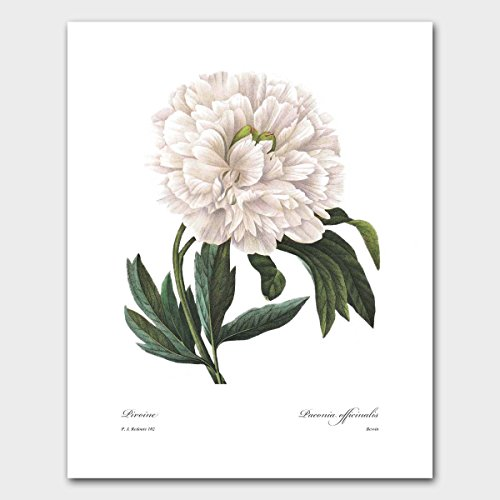 Peony Art (Redoute Botanical Print, White Flower Wall Decor, Garden Cottage Artwork) Pierre Redoute -- Unframed (Life Peony Still)