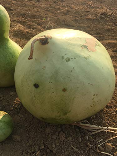 *THICK*GIANT AFRICAN BUSHEL GOURD* 7 ()