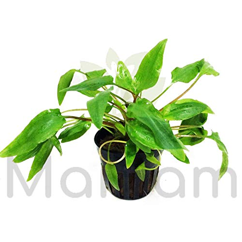 Mainam Cryptocoryne Beckettii Potted Live Aquarium Decorations Aquatic Plants for Fish Tank