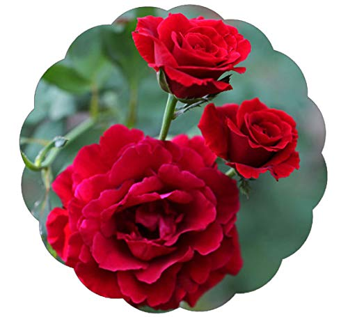 Stargazer Perennials Don Juan Climbing Rose Plant Red Fragrant Red Climber - Easy To Grow Potted