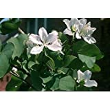 Buddist White Orchid Tree 10 Seeds - Bauhinia -Tropical by Hirts Gardens