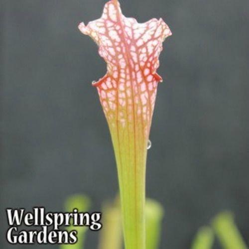 CARNIVOROUS PITCHER PLANT Sarracenia 'Daina's Delight' Live Plant Dana's bug ()