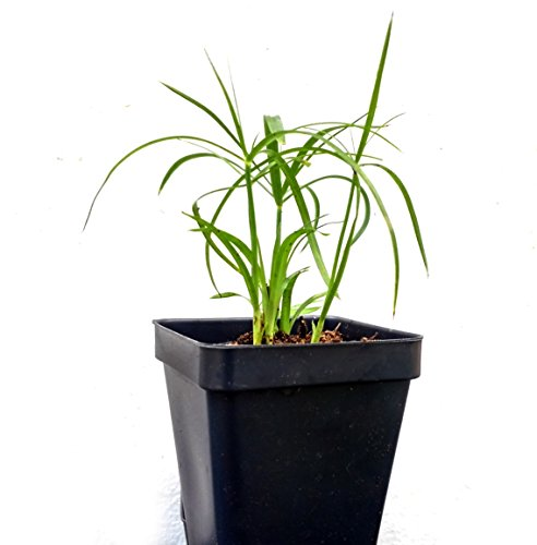 Umbrella Palm Plant - Rooted (not seeds) - Cyperus Alternifolius, Papyrus