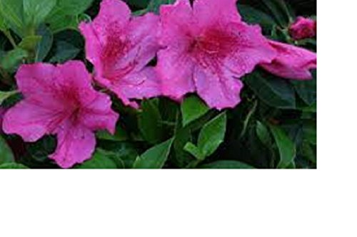 Azalea, 'Southern Charm', TWENTY plants spring flowering Pink flowers by Unknown