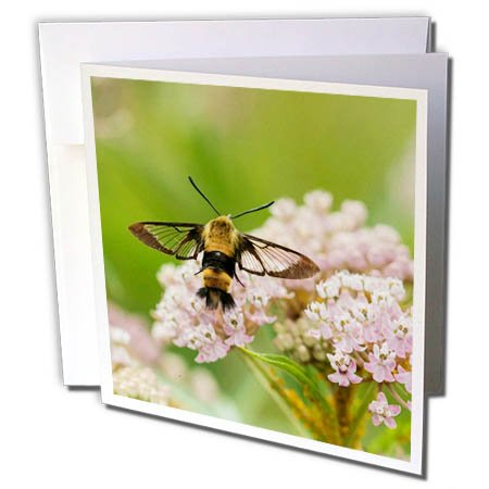 3dRose Danita Delimont - Insects - Snowberry Clearwing on Swamp Milkweed, Marion County, Illinois - 12 Greeting Cards with envelopes ()