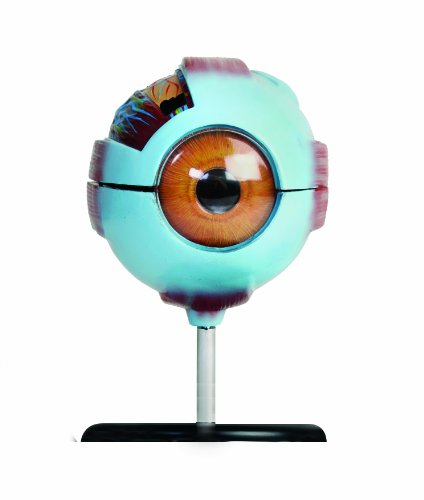 American Educational Eye Model by American Educational Products