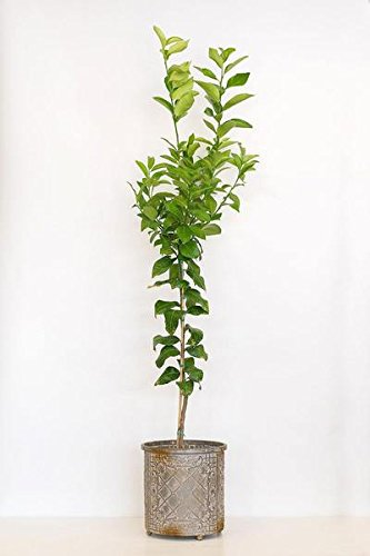 Dwarf Meyer Lemon (Orange Hybrid) Ever Bearing Aromatic Fruit Citrus Tree Plant (1 Gallon (4 inch Citra Pot)) (Dwarf Meyer Lemon)