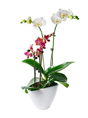ollection: Phalaenopsis Orchid Garden (13-18 Inches Tall) in a 4.5-Inch White Ceramic Pot (Orchid Plant In Pot)