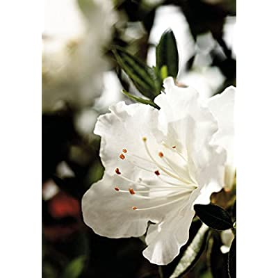 1 Gallon - Encore Azalea Autumn Angel - White Multi-Season Blooming Dwarf Evergreen Shrub : Garden & Outdoor