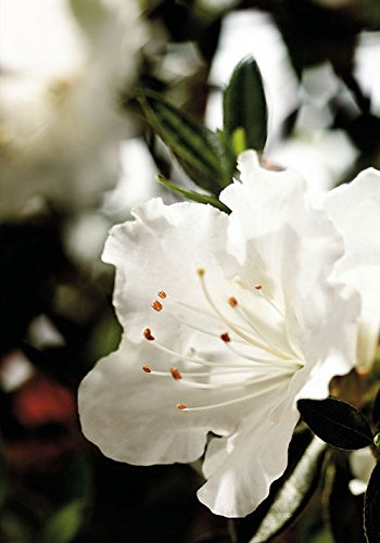 1 Gallon - Encore Azalea Autumn Angel - White Multi-Season Blooming Dwarf Evergreen Shrub by Encore Azalea
