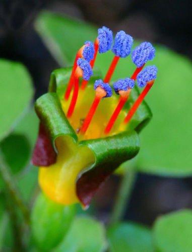 Fuchsia Berry (Creeping Fuchsia | Fuchsia procumbens | Sweet Edible Berries | 12 Seeds)