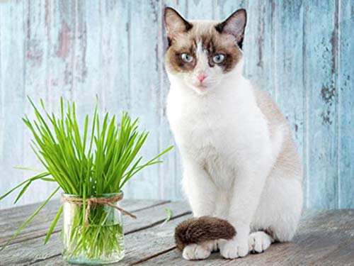 Cat Grass Oat 700+ Seeds, 1/2 oz by AchmadAnam ()