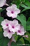 15+ Morning Glory Tree Bush Seeds, Pink (Ipomoea Carnea / Fistulosa) Borrachero,