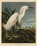 Snowy Heron or White Egret John Audubon Wildlife Bird Animal Nature Poster (Choose Size of Print)