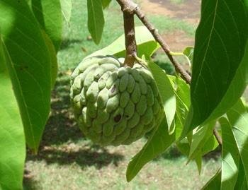 how to cut a sugar apple