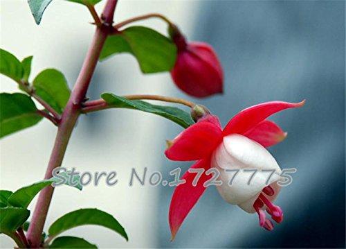 100pcs Fuchsia Hort Plants Bonsai Lantern Flowers for Garden Home Flores Flower Plant Flower Plan ()