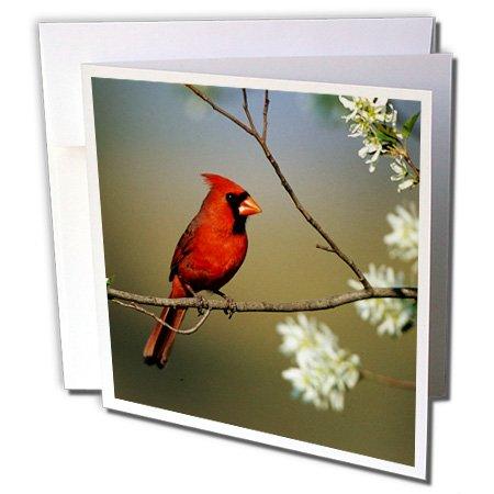 3drose-danita-delimont-cardinal-northern-cardinal-male-on-flowering-serviceberry-tree-illinois-6-gre