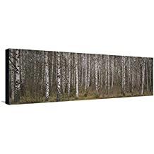 Silver Birch Trees in a Forest, Narke, Sweden Stretched Canvas Print by Panoramic Images - 42 x 14 in