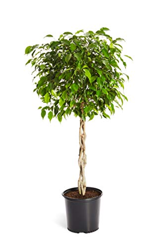 Benjamina Ficus Tree 2-3 ft. Tall - Unique Potted Tree, Perfect as a Live Patio Plants or Indoor Trees - Not Artificial Plants | No Shipping to AZ ()