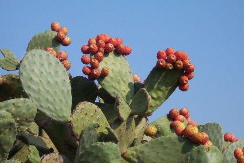 2 Winter Resistant Prickly Pear Opuntia Cactus EDIBILE EMERGENCY SURVIVIAL FRUIT