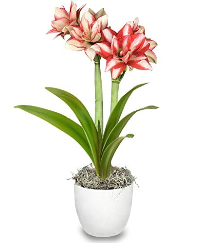 Grow Your Own Indoor Amaryllis Bulb Gift Kit | Red and White Exotic Peacock Flower Bulb in a White Classic Pot - Ships from Easy to Grow