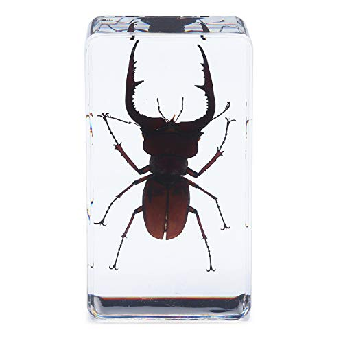 ZHENWOCAI Stag Beetles Insect Amber Specimen Teaching Paperweight Learning Art Room Decorations tool Accessories