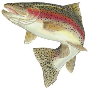 - Action Rainbow Trout Decal