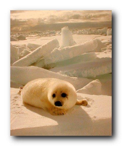 Cute Harp Seal Pup Snow Animal Wall Decor Art Print Poster