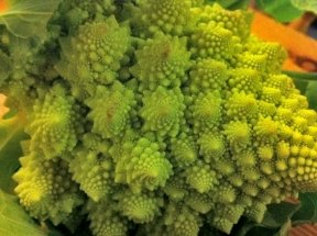 200+ Cauliflower Seeds- Yellow Romanesco- 2017 Seeds