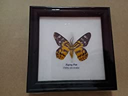 RARE FRAMED REAL BEAUTIFUL ZIGZAG FLAT BUTTERFLY DISPLAY INSECT TAXIDERMY 5\
