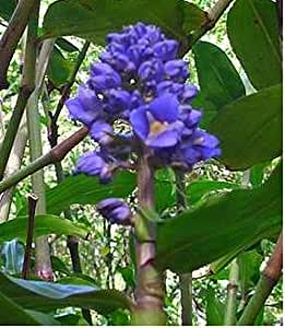 amazoncom blue hawaiian ginger plant root flowering