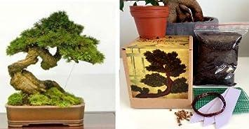 Pleasant Japanese Black Pine Bonsai Kit Your Own Bonsai Seeds2X Pots Soil Wiring Digital Resources Jebrpcompassionincorg