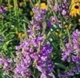 Physostegia - Virginiana Grandiflora Rose Queen - 20 Seeds