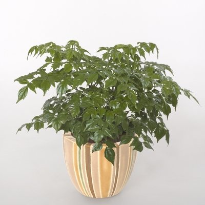 Radermachera sinica or China Doll Plant 10 Seeds : Plant Seed Collections : Garden & Outdoor
