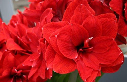 (Double Red dutch Amaryllis 'Double Dragon' 36+cm Jumbo bulbs)