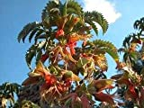IDEA HIGH Honey Flower/Melianthus comosus/Seeds