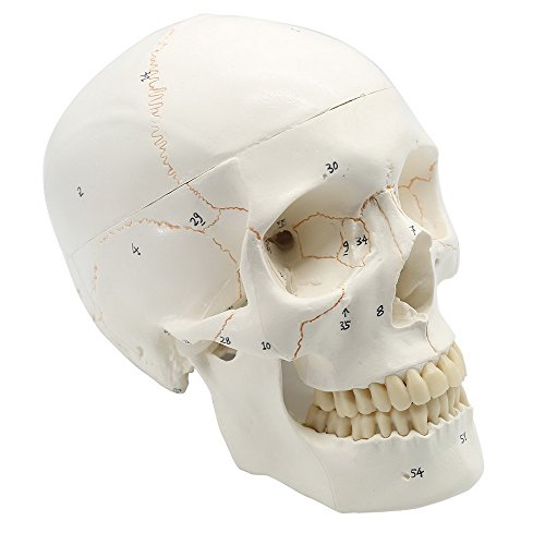 Maymii Numbered Human Skull Head Anatomical Teaching Education Model, Medical Quality, Life Sized (9